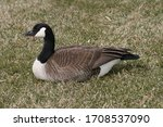 Canadian goose sitting on grass ...