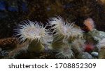 A Group Of White Sea Anemones...