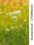 Small photo of Achillea cartilaginea flower on meadow