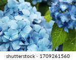 Blue Hydrangea Bush Close Up