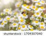 Daisies In The Sunlight With A...