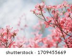 Cornus Florida Rubra Tree With...