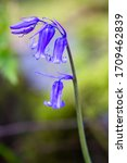 Close Up Of A Bluebell Flower...