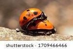 A Pair Of Seven Spot Ladybirds...
