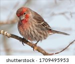 The House Finch Is A Bird In...