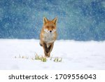 Red Fox  Vulpes Vulpes  On...