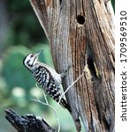 The Ladder Backed Woodpecker Is ...