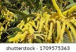 Australian Wattle Flowers Clos...