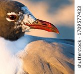 The Laughing Gull Is A Medium...