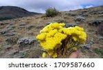 Helichrysum Arenarium  Dwarf...