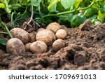 Fresh organic potatoes in the...