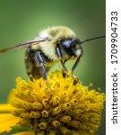A Bumble Bee In A Pennsylvania...