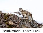 Snow Leopard  Panthera Uncia ...