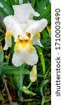 Blooming Bearded White Iris...