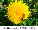 Bee On A Yellow Flower In The...