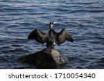 A Black Cormorant In Copenhagen'...