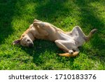 Small photo of Dog wallow and roll on grass. Dog has relaxation time lying down on green grass in sun