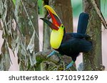 Chestnut Mandibled Toucan Or...