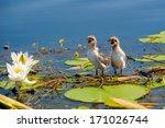 baby bird in the danube delta | Shutterstock . vector #171026744
