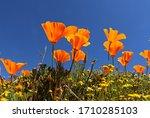 Orange California Poppies In...