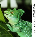 close up of green basilisk...   Shutterstock . vector #171029084