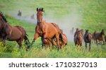 Herd Of Horses Runs Through The ...