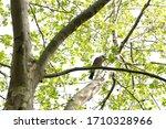 Blue Wing Eurasian Jay On A Tree