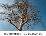 The Picture Of A Bald Tree On...