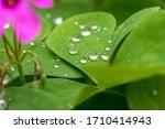Dew Drops In Beautiful Green...