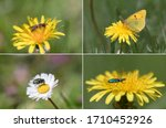 The four main insect flower pollinators hymenoptera, lepidoptera, diptera and colleoptera.