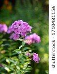 Pink Phlox In The Garden In...