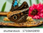 A Banana Butterfly Eating Fruit