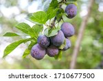 Ripe Plums Hanging From A Tree...