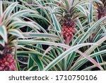 Young Pineapple. Ananas Comosus ...
