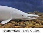 The Platinum Alligator Gar (Snow Alligator Gar) in freshwater aquarium. Atractosteus spatula is a common freshwater fish in North America. Its platinum variety was bred in Asia for aquarium keepers.