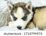 Cute Husky Puppy. Husky Is The...