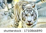 Small photo of White tiger in nature portrait