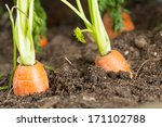 fresh carrots in her bush about ...   Shutterstock . vector #171102788