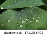 Large Raindrops On Green Leaves ...