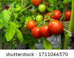 Fresh Juicy Tomatoes Ripening...