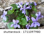 Wild Purple Violets In The...