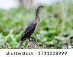 The Reed Cormorant  Microcarbo...