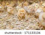Newly Hatched Chicks On A...