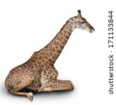 The Young Giraffe Sits On A...