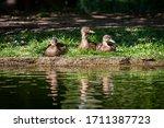 Ducks Sitting On A Riverbank In ...