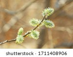 Blooming Willow Branches I...
