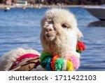White Lama In Lake Titicaca