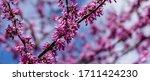 Purple Spring Blossom Of...