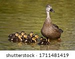 Mottled Duck And Her Ducklings...