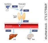 thyroid hormones. regulation of ... | Shutterstock .eps vector #1711775869